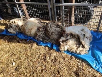 vachtvilten_schapenvacht